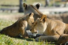 Lionesses & cub at Wild Animal Park in Escondido-36 2-12-08