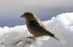 Big Red (martytdx) Tags: male birds adult birding january nj longbranch sevenpresidentspark redcrossbill coldashell loxiacurvirostra loxia crossbills fingillidae