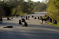 Chacma baboons on road 6254 (DavidRBadger) Tags: sleeping tarmac silhouette southafrica morninglight nationalpark naturereserve backlit baboon obstruction relaxed familygroup longshadows parkroad rimlight krugernp chacmababoons mutualpreening troopofbaboons adultswithyoung