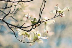 The Dogwood trees are in full blossom down in Georgia. (WeeLittlePiggy) Tags:
