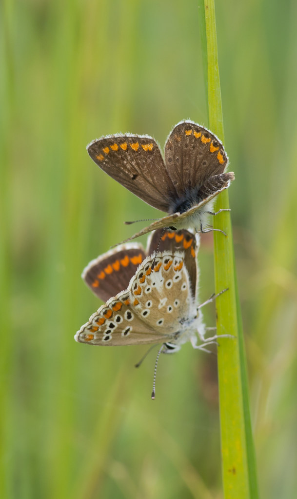brown argus pair
