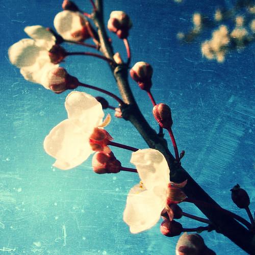 Cherry blossom - olden