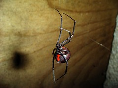 Queen of the night (JUPAGAME) Tags: insect spider