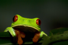 Just a Peek (J.P. Lawrence Photography) Tags: red costa tree rain forest for la leaf rainforest selva amphibian rica frog frogs tropical eyed amphibians organization tropics herp studies ots herps herpetology anura hylidae agalychnis anuran callidryas hylid