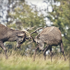 locking horns (Black Cat Photos) Tags: uk autumn england male nature animal canon blackcat photography photo fight movement europe action wildlife yorkshire performance battle move clash testing m deer antlers strength perform practice buck fountainsabbey youngster 100400mm rut 400mm mantoman blackcatphotos