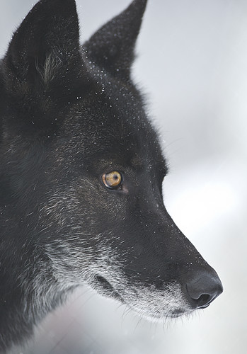 Black Wolf-46 by Dan Newcomb Photography