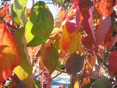 NH Fall Foliage Bests 10/11/2011 (catchesthelight) Tags: blue autumn trees light red sky orange plants green fall colors beauty leaves yellow flora nh fallfoliage colourful itsmulticolored fallfoliagephotography