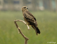 Indian kite bird - photo#16