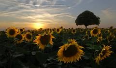 L'interro écrite (photosenvrac) Tags: nature soleil ciel paysage arbre tournesol marronnier