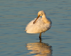Spoonbill, in late evening light (Andrew H Wildlife Images) Tags: bird nature wildlife warwickshire spoonbill draycotewater ajh2008