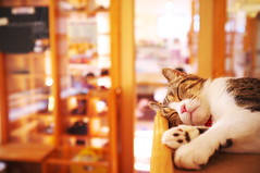 I'm only sleeping (at a cat cafe, Nara) (Marser) Tags: japan cat raw nara  cattail   ikoma x100 silkypix catcafe   finepixx100