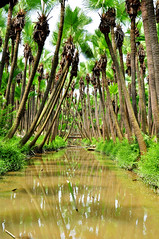 Palm trees... (Rosanna Leung...away for 2 weeks) Tags: china tree forest river fan palm palmtree guangdong  xinhui