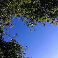 晴れ。もみじはまだ青い #sky