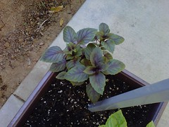 Mmm, purple basil, Jeney used it last night in a sauce... by billgould