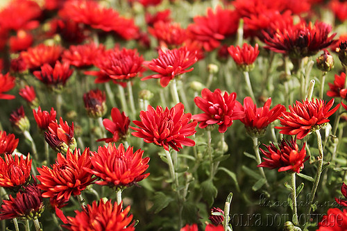 Blooming mums
