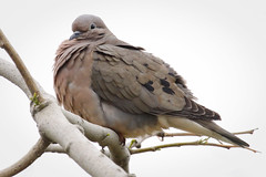 Eared Dove (Zenaida auricalata) (Photo Patty) Tags: eareddove reservaecolgicadebuenosaires zenaidaauricalata