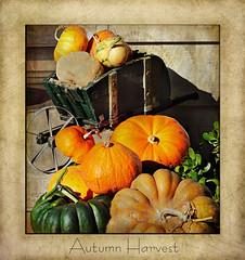 Autumn Harvest (champbass2) Tags: california autumn orange fall pumpkins seasonal harvest autumncolors textures wheelbarrow autumnharvest champbass2 florabellatexture kimklaussentexture kkautumnburst florabellascratchedantiqueii