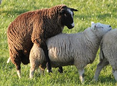 Beasty Boyz (Ger Bosma) Tags: gay sheep ram schaap homosexuality img22310a