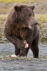 Eating My Catch (chaines9) Tags: park fish animal bears grizzly grizzlybear katmai katmainationalpark specanimal coastalbrownbears dailynaturetnc11 tnc11 photocontesttnc12 dailynaturetnc12 nww12 photoofthedaynwf12 myfavnw12 coverphototnc13