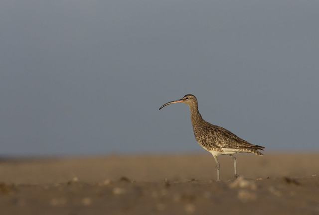 whimbrel 300mm on sandy beach