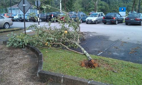 Pokok Tumbang di UTP