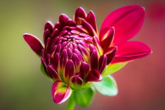 Miss Brittany Rey - a Portrait of Autumn Dahlia #4.....**EXPLORE #412 10/29/2011** (P C Chang) Tags: dahlia autumn red flower green yellow garden gold blossom bloom reflection4 mixedflowers fantasticflower colorphotoaward photosandcalendar flowersarebeautiful floraandfaunaoftheworld exquisiteflowers mimamorflowers flickrflorescloseupmacros thebestofmimamorsgroups panaromafotografico flowersarebeautifu mygearandme esenciadelanaturaleza flickrstruereflection1 flickrstruereflection2 flickrstruereflection3 flickrstruereflection4 brittanyreydahlia flickrstrue tnebestofmimamorsgroups