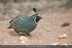 California Quail (Nick Chill Photography) Tags: california bird nature animal fauna photography nikon sandiego wildlife fineart animalia avian quail gamebird naturesfinest californiaquail callipeplacalifornica missiontrailsregionalpark stockimage avianexcellence d300s sigma150500mm nickchill