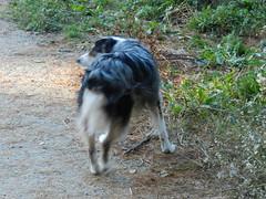DSCN0030 (rlg) Tags: november dog male animal mammal 05 indigo saturday 1105 australianshepherd indi 2011 fpr 175years nikonp500 201111 11052011 20111105