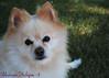 DSC_0710 (zoo2292) Tags: bear dog puppy doggy pomeranian pompom