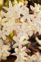 Jasmin flowers (Anna Calvert Photography) Tags: flowers plants white star many small jasmin botany