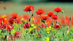 Poppies (Today is a good day) Tags: england field poppy poppies tring redflowers lestweforget rememberence hertdfordshire
