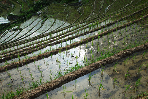 Paddy field reflections