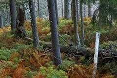 Babiogrski Park Narodowy / Babia Gra National Park, Poland (PolandMFA) Tags: park travel mountains nature landscapes poland polska national gry attractions babia przyroda gra beskidy krajobrazy narodowy podre atrakcje babiogrski turystyczne babiogorskiparknarodowy