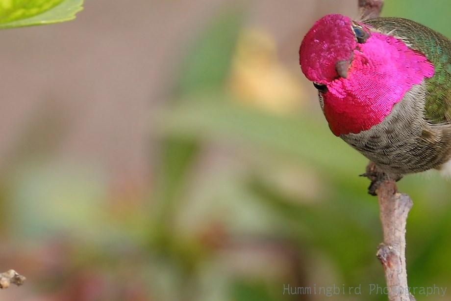 Anna's Hummingbird 111511