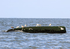 Gulls and Sandpipers (sandy richard) Tags: longisland beaches wildwood wildwoodstatepark sandyrichard sandrarichard