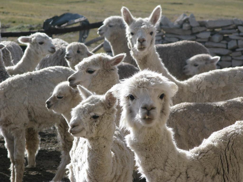alpacas priemer plano