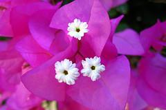 Beauty (oshita946) Tags: flowers colors beauty bougainvillea