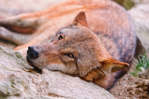Tired wolf by Tambako the Jaguar