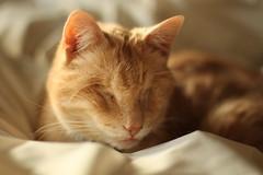 Wee Tongue (wee3beasties) Tags: orange cat orangecat blind toothless eyeless blindcat sooc eyelesscat toothlesscat