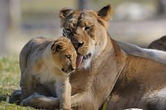 Lioness & cub at Wild Animal Park in Escondido-05 2-12-08