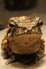 Chiromantis petersi - Peters' Foam-nest Frog (mgrimm82) Tags: tanzania amphibian frog frosch animalia anura amphibia chordata rhacophoridae taxonomy:class=amphibia taxonomy:order=anura taxonomy:kingdom=animalia taxonomy:phylum=chordata chiromantis haydom taxonomy:family=rhacophoridae taxonomy:species=petersii taxonomy:genus=chiromantis chiromantispetersi gajaroda petersfoamnestfrog schaumnestfrosch chiromantispetersii taxonomy:binomial=chiromantispetersii inaturalist:observation=584075