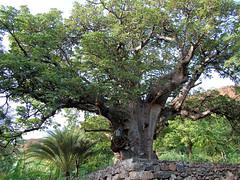 Tree altar on Santiago island (Manurèva) Tags: santiago tree altar arbre baobab autel capeverde ribeiragrande adansonia adansoniadigitata cicadevelha