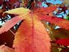 otoño macro (juanpablo.santosrodriguez) Tags: autumn red wallpaper macro fall hoja yellow leaf rojo amarillo otoño fondodeescritorio