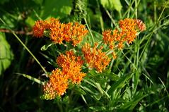 Butterfly Weed (annahesser) Tags: bristol indiana butterflyweed asclepiastuberosa liebernaturepreserve pipewortpond