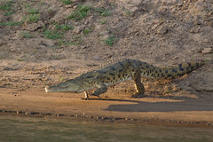 """Never smile at a crocodile...."" (Hector16) Tags: zambia crocodylusniloticus lowerzambezi lowerzambezinationalpark oldmondoro"