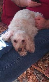 Thornton, Colorado loves a lap dog!