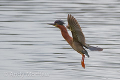 Green Heron Landing (Andy Morffew) Tags: florida bif greenheron venicerookery naturethroughthelens birdperfect andymorffew morffew