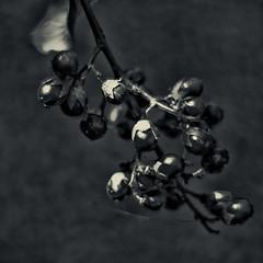 Seeding Crepe Myrtle