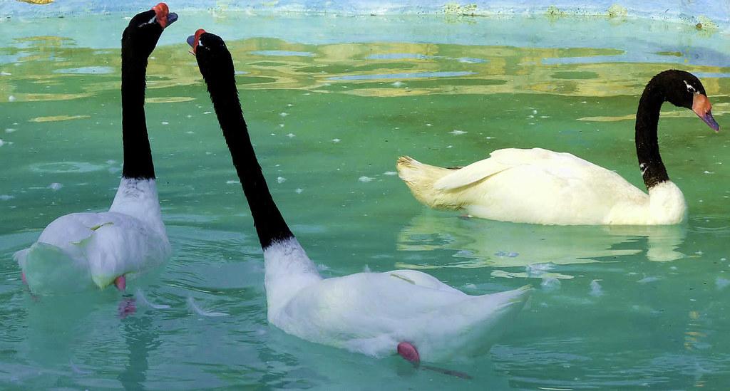 Resultado de imagen para cisne de cuello negro