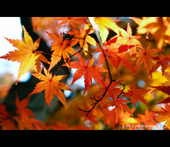 [EXPLORE] ( ()) Tags: japan maple bokeh olympus explore  zuiko e30  1454
